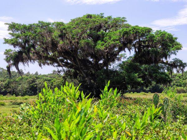 Figueira nativa (gênero  Ficus)