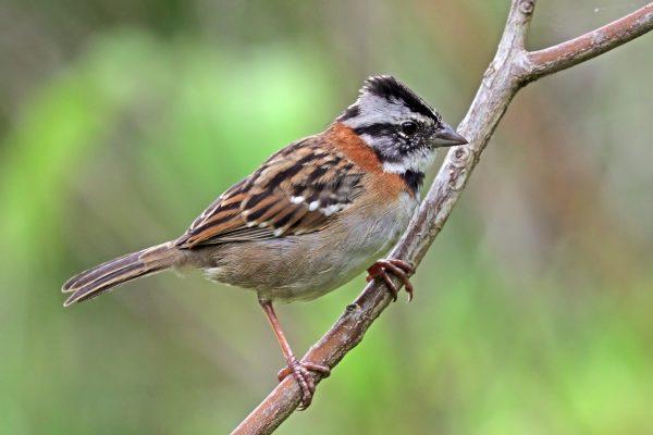 pássaro: Tico-Tico